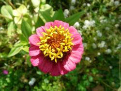 zinnia, flower, colorful, pink, red, yellow