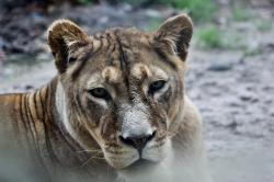 zoo, animal, cat, animal world, lion, lioness, predator