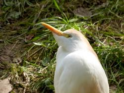 zoo, white, bird
